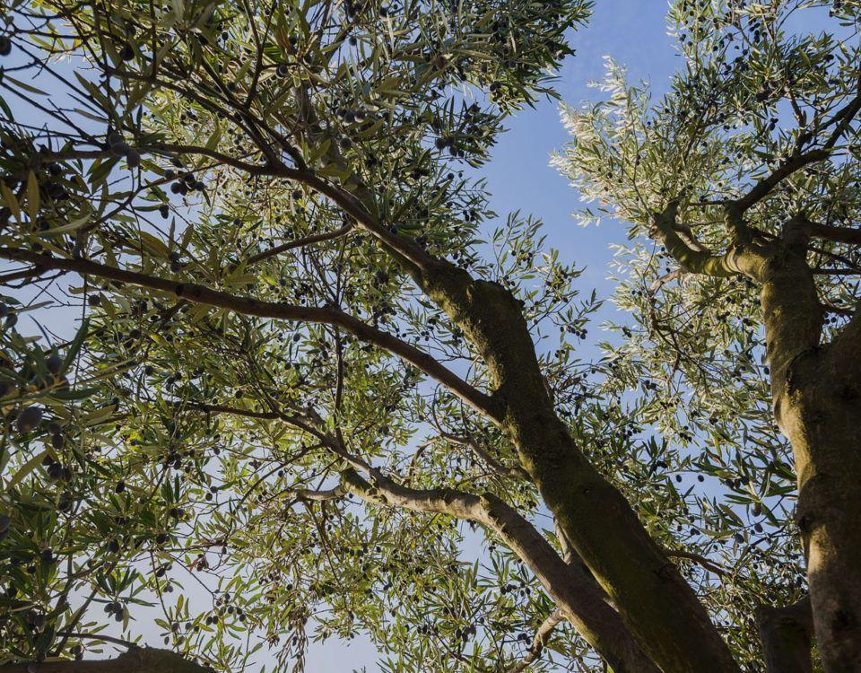 Olivo ecológico