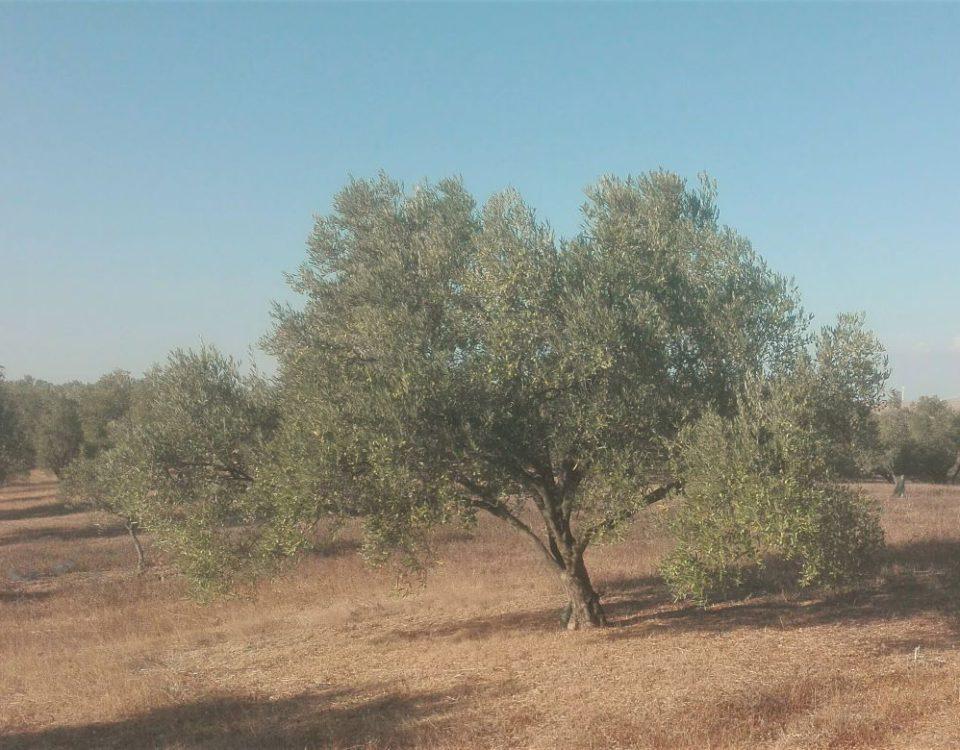 Verano en el olivar